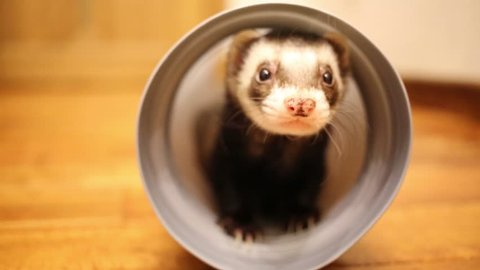 Close up portrait of funny ferret playing in pipe in home