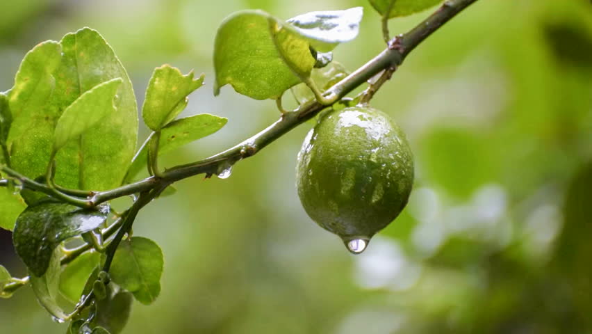 Rain Water Drops From Lime Fruit Beautiful Fresh Seasonal HD Stock Nature Footage Green Natural Background Video 11530763