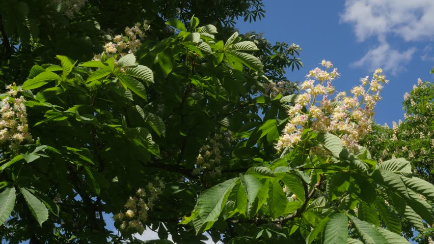 Blooming Chestnut Tree On A Sunny Day Stock Footage Video 23679355