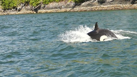orca pod swimming and jumping slow motion