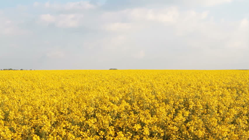 A field of Rapeseed / Oilseed in full bloom swaying gently in the wind. Rape seed oil from these fields is used to produce alternative fuels. Background clip for alternative energy concepts.