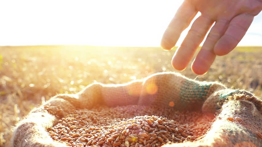 Strong man's hand takes a lot of wheat grains  from a sack, cultivated land , sky and sun in the background. Lens flare, sunset light.Slow motion, high speed camera, unrecognizable person
