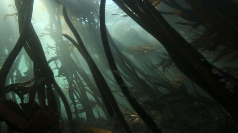 Sunlight rays shining through kelp forest underwater in False Bay, South Africa