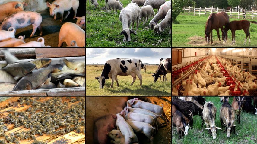 Parable The Pig And Chicken: Pig Farm Stock Footage Video