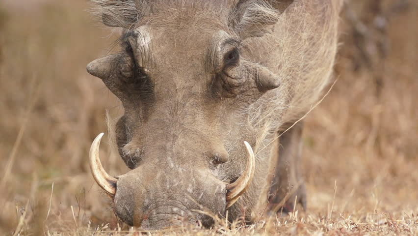 Warthog Eating in Africa shot in HD Super Slow Motion