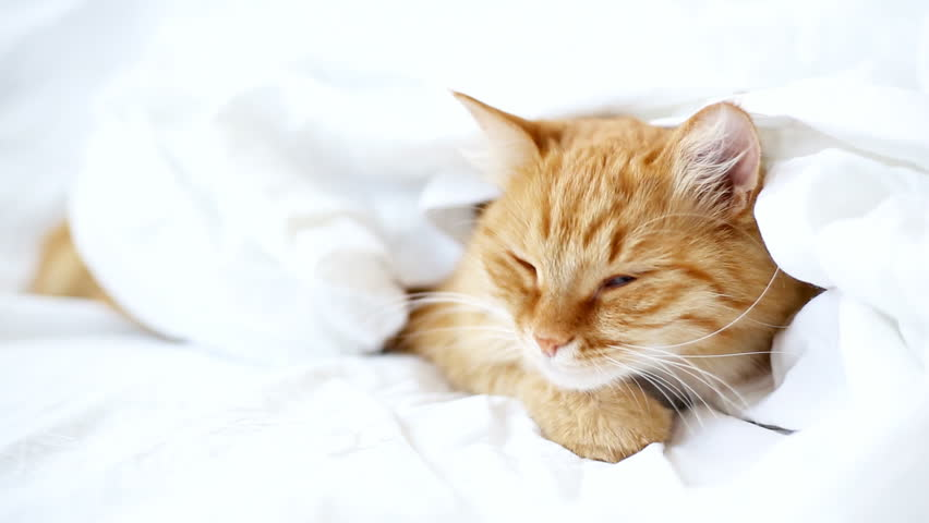 Ginger cat lies on bed. The fluffy pet comfortably hides under a blanket to sleep and wildly yawns. Cute cozy background, morning warm bedtime at home. | Shutterstock HD Video #11747423