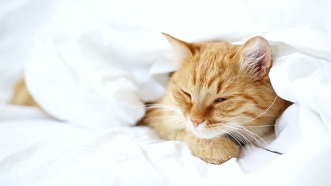 Ginger cat lies on bed. The fluffy pet comfortably hides under a blanket to sleep and wildly yawns. Cute cozy background, morning warm bedtime at home.