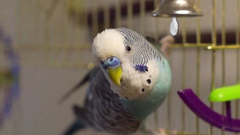 Male blue budgerigar playing with a bell on the cage