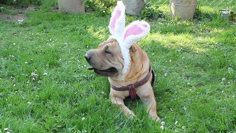 sharpei dog wearing rabbit ears