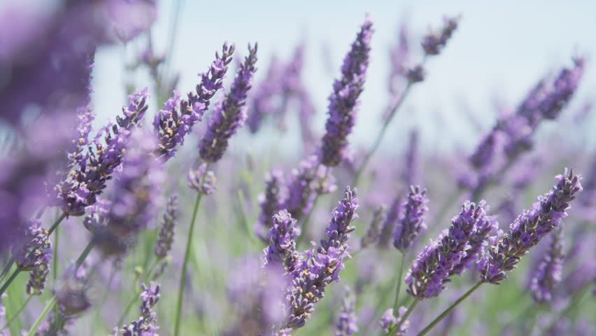 CLOSE UP: Beautiful blooming lavender flowers swaying in the wind