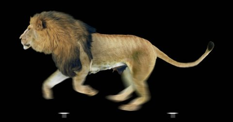 Isolated lion cyclical running. Can be used as a silhouette.