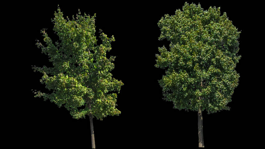 High quality 10bit footage of trees on the different wind with Alpha Channel. Made from RAW footage.