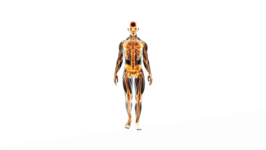 Human Body Walks over white background displaying bones and organs with X-RAY medical scanner. Skeletal, Digestive, Circulatory and Respiratory System views at the same time. | Shutterstock HD Video #11853533