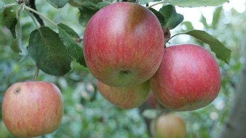 Fresh organic two color apples on the tree branch 4K 2160p 30fps UltraHD footage - Red and green juicy apples hanging 4K 3840X2160 UHD video
