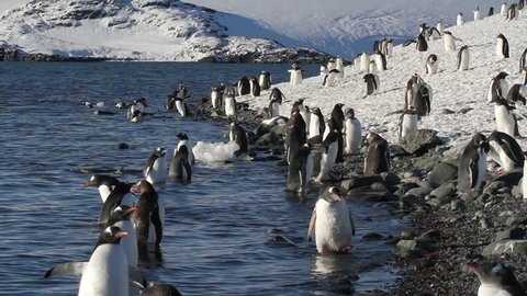Beach with Penguins Staedy shot of Antarcticas Beach with Gentoo Penguins Colony
