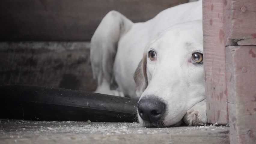 White dog frightened by rain and thunderstorm. 4k
