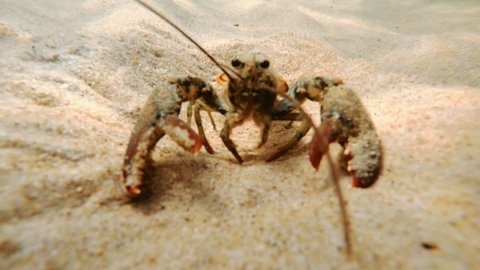 An underwater shot of a big lobster walking on the sandy floor bottom