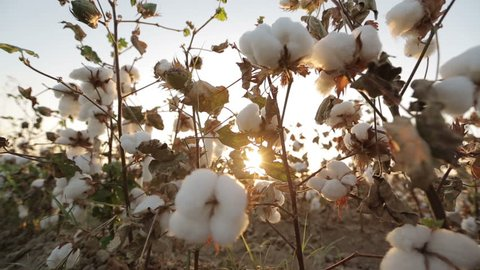 Dolly shot of ripe bushes of cotton at sunset the glare of the sun