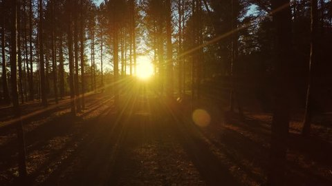 Sunset in forest. Aerial footage. Woods