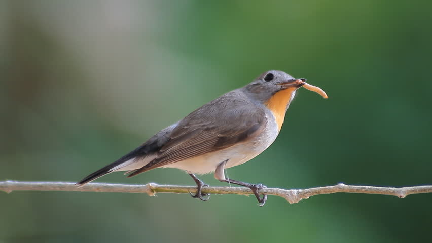 Bird Red-throated Flycatcher (Ficedula albicilla) eating a worm in tropical forests  | Shutterstock HD Video #11993813