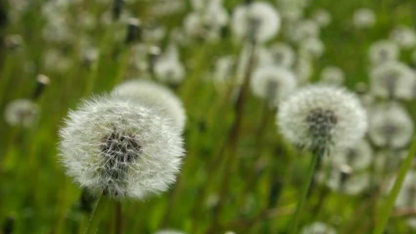 White dandelion swayed slightly in the wind