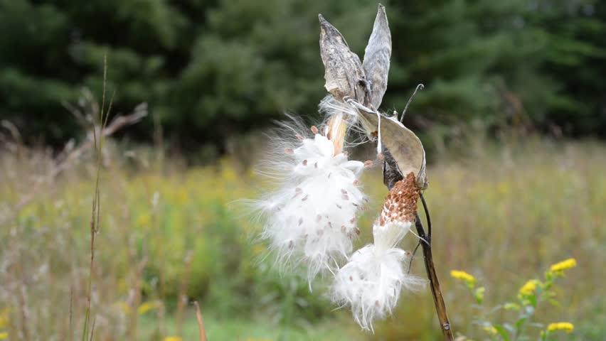 Milkweed Pod Releasing Seeds In Gentle Wind In A Field. Stock ...