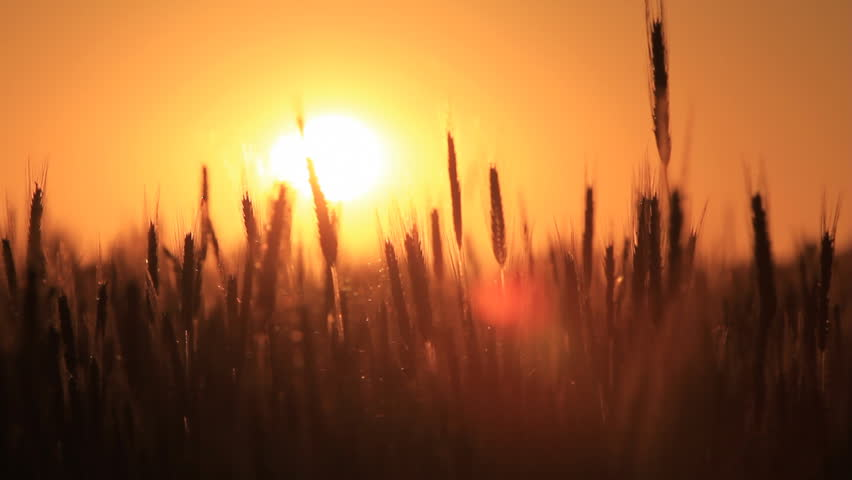 wheat at dawn. shot with dolly
