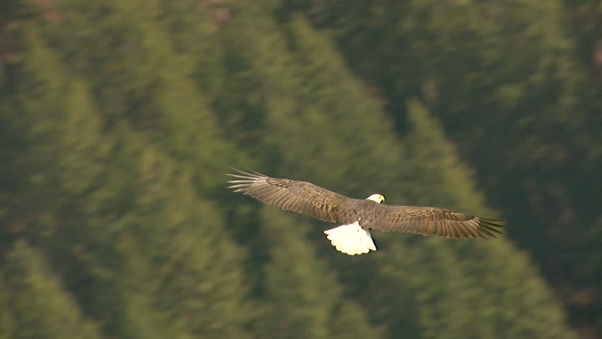 WS TS AERIAL View of bald eagle flying over landscape / Nelson, British Columbia, Canada | Shutterstock HD Video #12213722