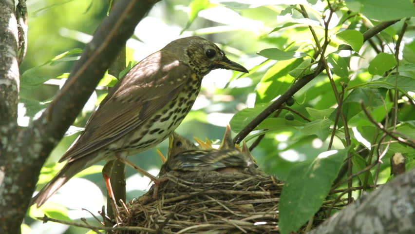 Ouzel, baby birds,  nest