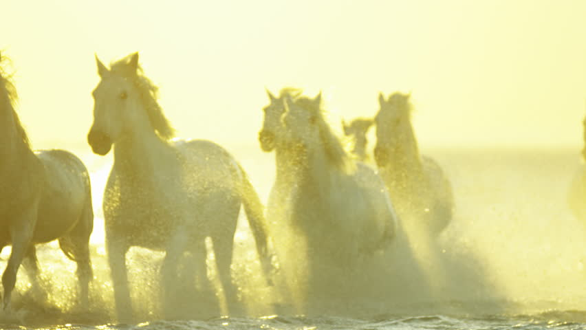 Cowboy Camargue rider animal horse sunset grey livestock nature France guardian Mediterranean sea galloping marshland freedom RED DRAGON | Shutterstock HD Video #12292691