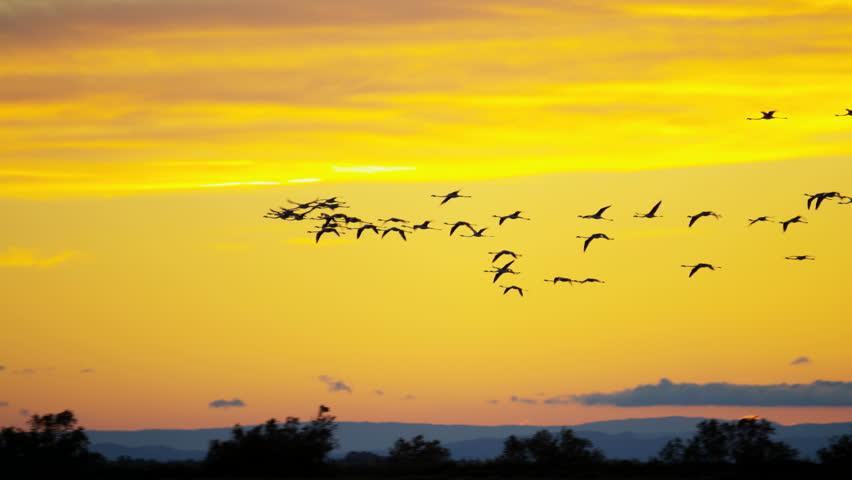 Flamingo bird sunset animal flying flock water Camargue, France free graceful Wildlife outdoor travel vacation RED DRAGON