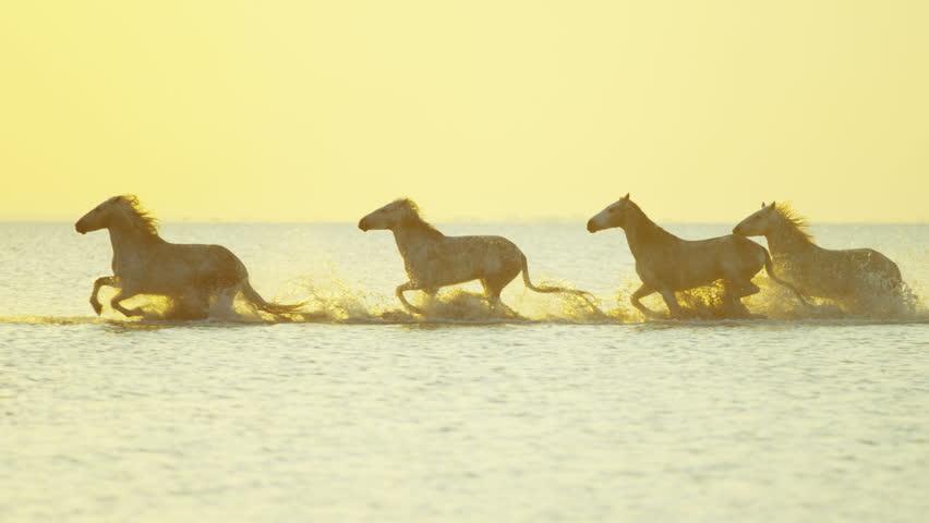 Camargue animal horses France running sunrise wildlife white livestock sea Mediterranean nature outdoors marshland freedom travel RED DRAGON | Shutterstock HD Video #12292856
