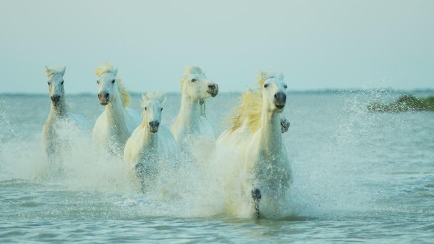 Camargue, France Mediterranean coastline outdoors marshland freedom animal horses wild white water running tourist travel RED DRAGON #12294083