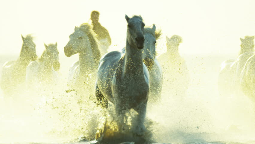 Camargue, France animal horse wild white livestock sunrise rider cowboy running water Mediterranean nature tourism travel RED DRAGON | Shutterstock HD Video #12327671