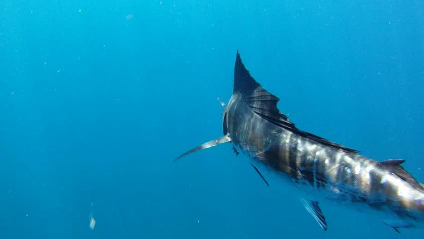 Sailfish Free Swimming