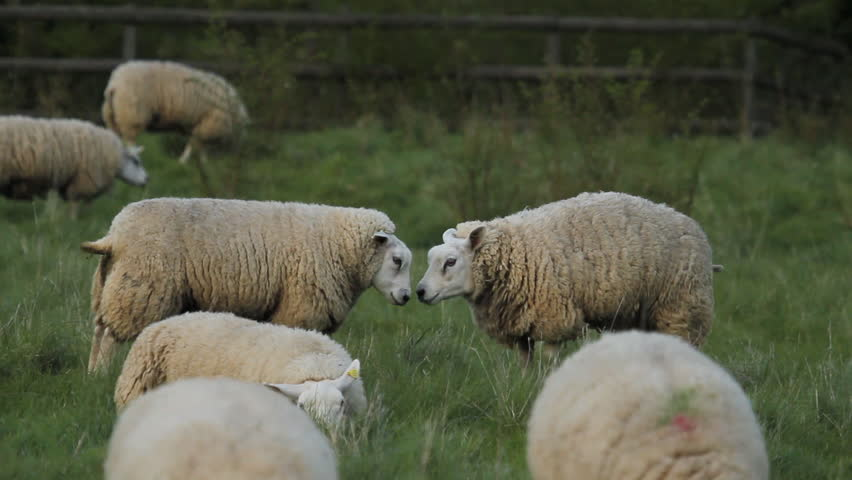 Two Sheep Running And Butting Heads Cambridgeshire England