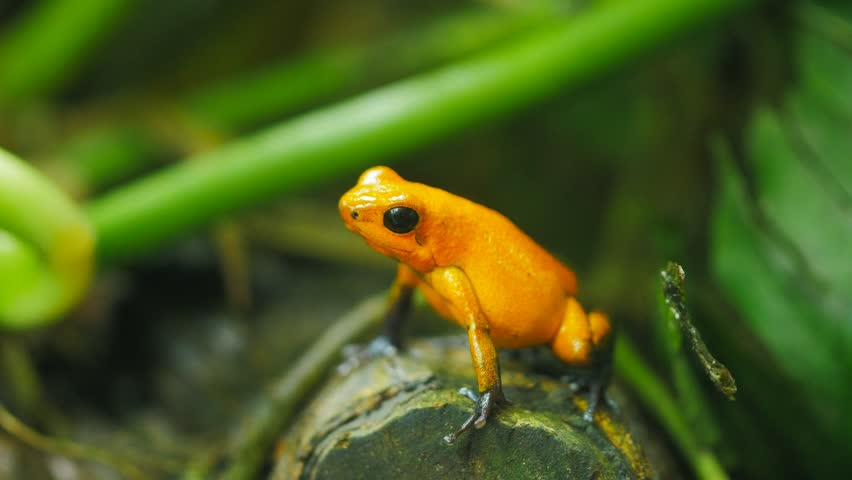 close up of a strawberry poison dart frog