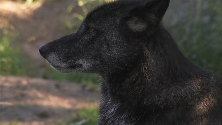 Black jaguar stock footage video 256453 shutterstock black timber wolf close up hd stock footage clip voltagebd Images