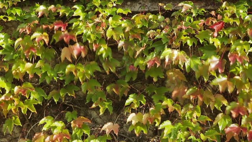 Green And Red Leaves On Outside Building Wall, Wind Blows Softly, Smooth  Pan.
