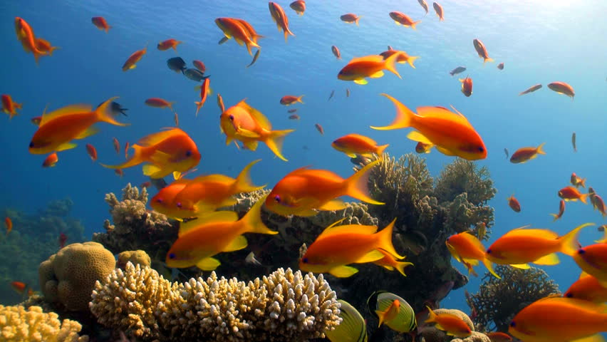 Stock video clip of red fish in coral reef red sea for Fish in sea