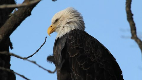 A wild bald eagle sits in a cottonwood tree outside of Haines, Alaska.