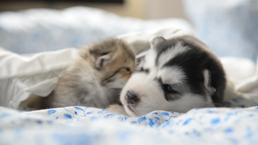 Cute tabby kitten and siberian husky playing on the bed
