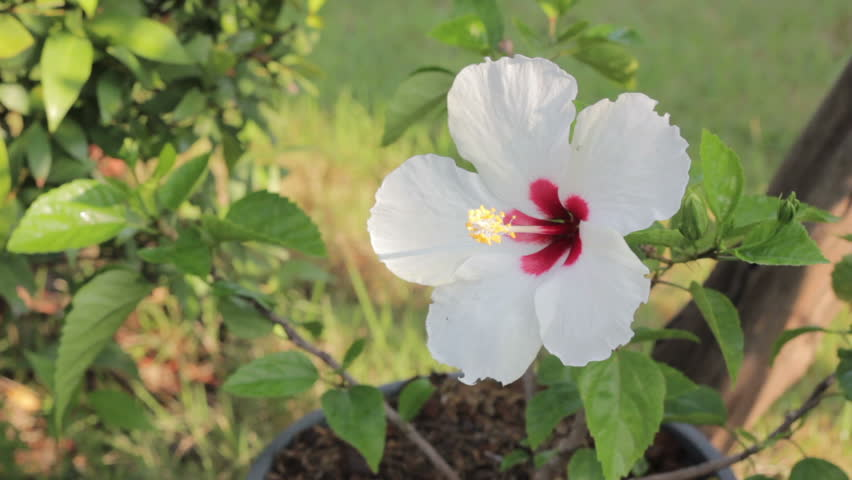 White Rosa Mallow Hibiscus Rosa Sinensis Stock Footage Video 100