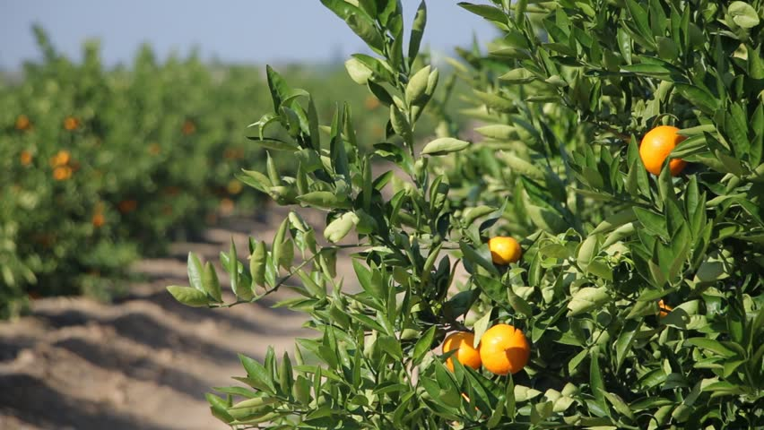Prepossessing Mandarin Orange Branches Oranges Growing On Tree In A Garden  With Gorgeous Mandarin Orange Tree With Ripe Citrus Fruits Citrus Plantation In Spain   Hd Stock Video With Delectable Garden Chimes Also India Garden Buffet In Addition Pole Garden Centre And Acrylic Garden Mirror As Well As Maroush Covent Garden Additionally Garden Restaurant London From Shutterstockcom With   Gorgeous Mandarin Orange Branches Oranges Growing On Tree In A Garden  With Delectable Mandarin Orange Tree With Ripe Citrus Fruits Citrus Plantation In Spain   Hd Stock Video And Prepossessing Garden Chimes Also India Garden Buffet In Addition Pole Garden Centre From Shutterstockcom
