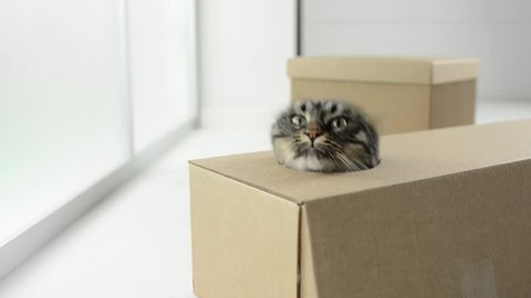 Cute cat playing, hiding and popping out from a cardboard box