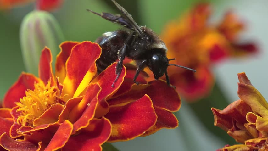 Bee, Abeja Crawling On A Red Flower In The Garden, On A Bed Of