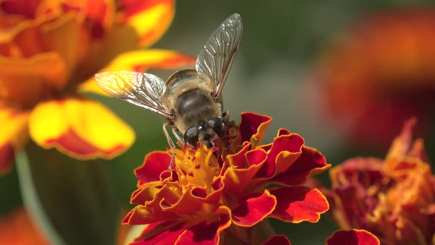 Bee Abeja Crawling On A Red Flower In The Garden Bed Of Flowers Field Forest Nature Beauty Flora Green Background