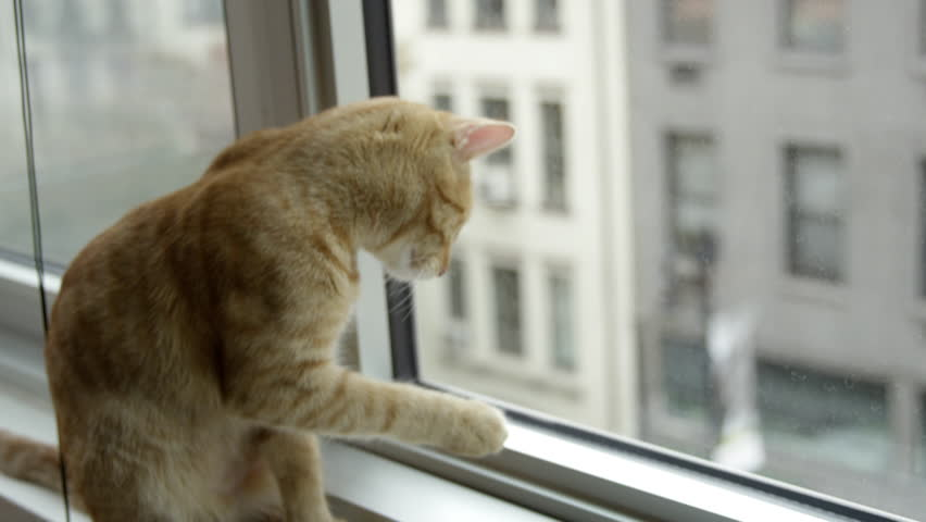 Orange Tabby cat pawing at window with birds eye view of building across the street in New York City in 4K