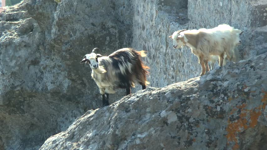 Goats On The Ruins Of An Ancient Fortress A Background Roofs