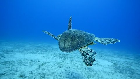 Turtle swimming underwater mediterranean sea hawksbill caretta and green turtle